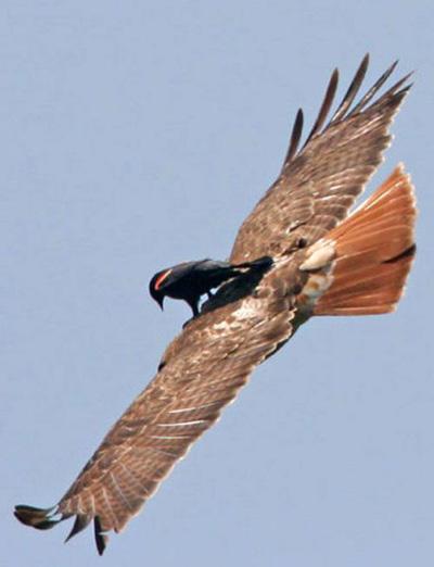 lazy-bird-on-bird