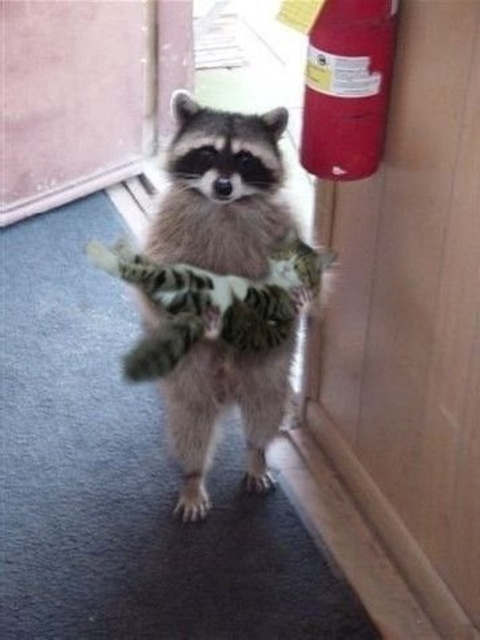 Raccoon Holding Cat