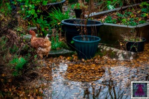 Cumbria Flooding - My Chickens Playing