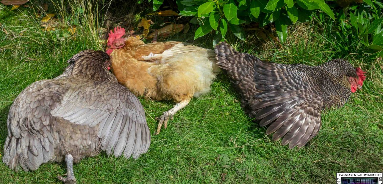 Tales From The Coop: Enjoying The Sun