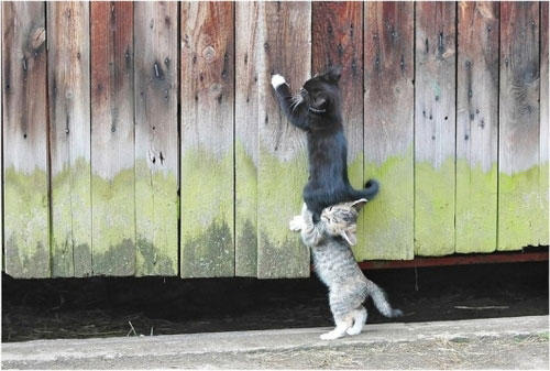 funny-teamwork-cat-fence