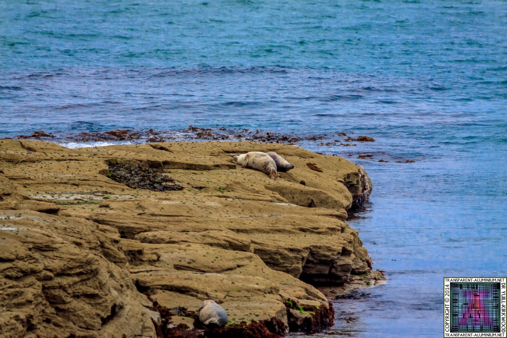 St Mary's lighthouse Seals