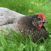 In the Garden with my Chickens – 2021/02/28
