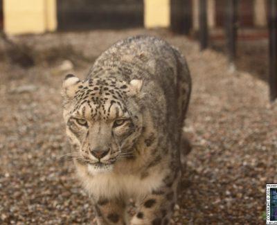 Lakeland Wildlife Oasis – Snow Kitten