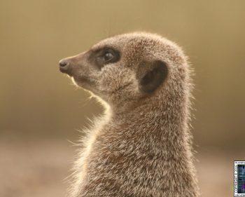 Lakeland Wildlife Oasis – Meerkats