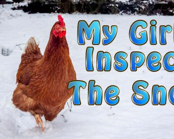 My Chickens Inspect The Snow