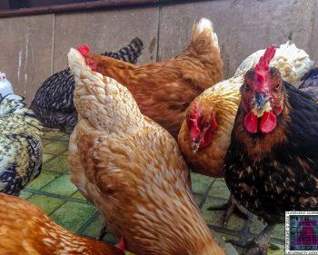 My Chickens Enjoying Mash Potato