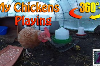 My Chickens Playing (360° Video)